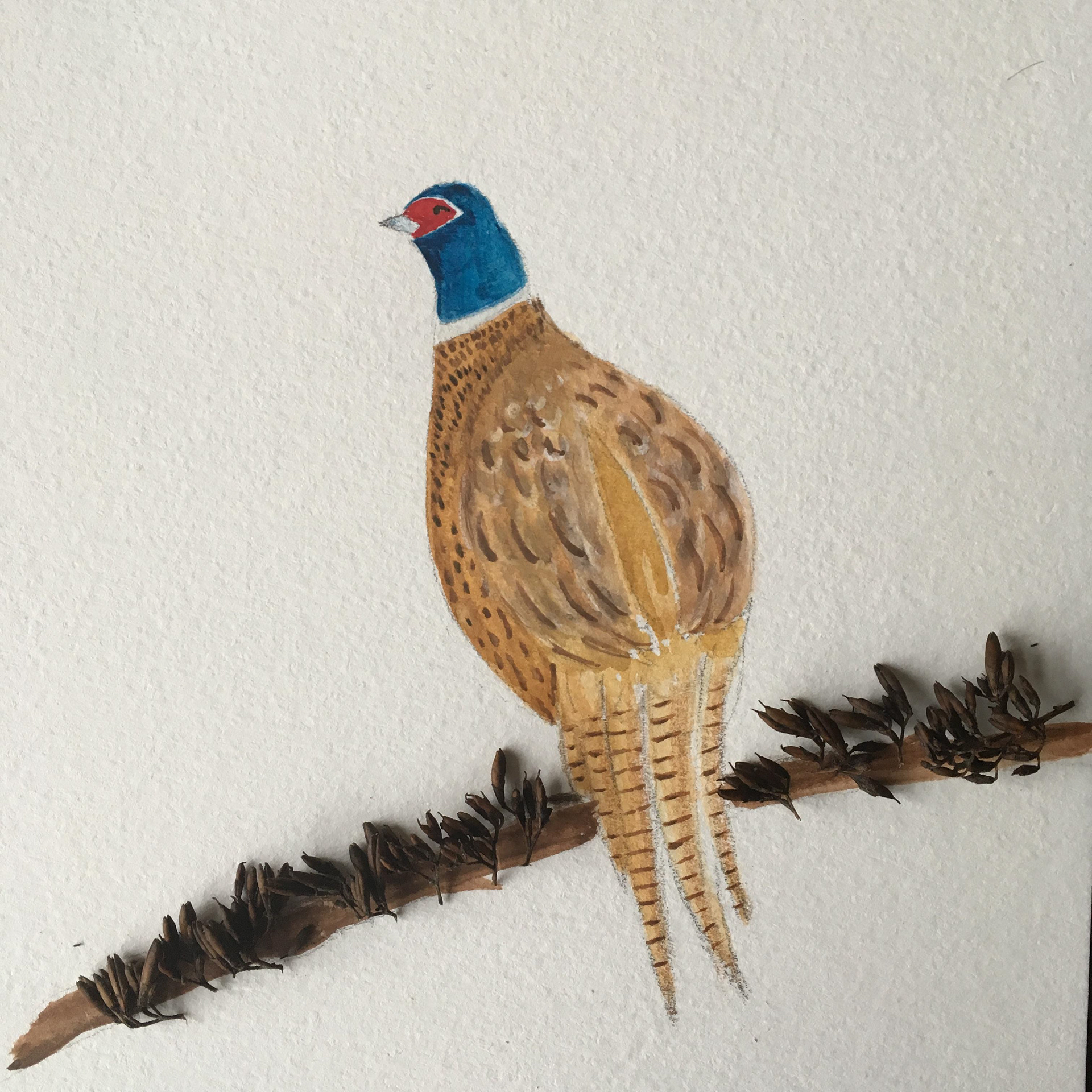 Chestnut pheasant
